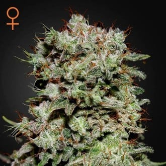 Kalashnikova (Greenhouse Seeds) feminized