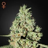 Super Critical (Greenhouse Seeds) feminisiert