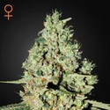 Super Critical (Greenhouse Seeds) feminized