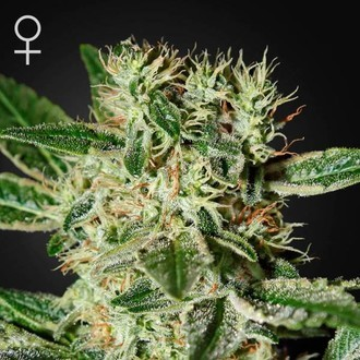 Ladyburn 1974 (Greenhouse Seeds) Femminizzata
