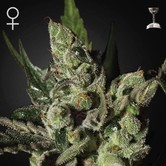 Exodus Cheese (Greenhouse Seeds) feminisiert