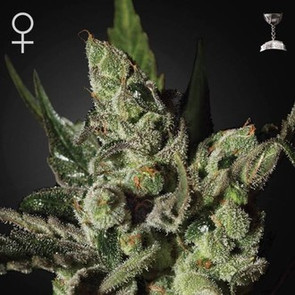 Exodus Cheese (Greenhouse Seeds) femminizzata