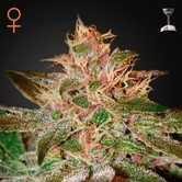 Pure Kush (Greenhouse Seeds) feminisiert