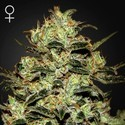 Moby Dick (Greenhouse Seeds) Femminizzata