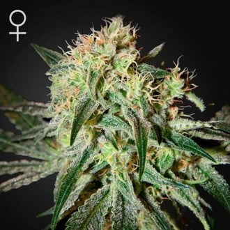 Damn Sour (Greenhouse Seeds) feminized