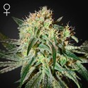 Damn Sour (Greenhouse Seeds) feminisiert