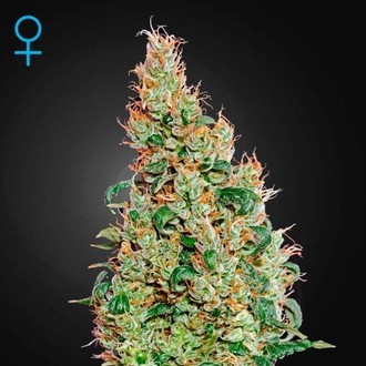 Green-O-Matic (Greenhouse Seeds) feminized