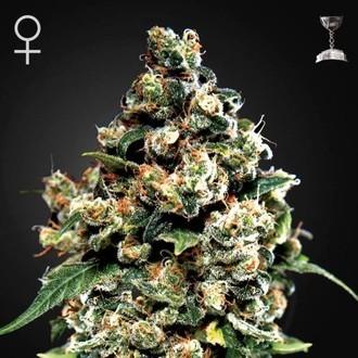 Jack Herer (Greenhouse Seeds) Femminizzata
