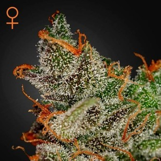 King's Kush (Greenhouse Seeds) feminisiert
