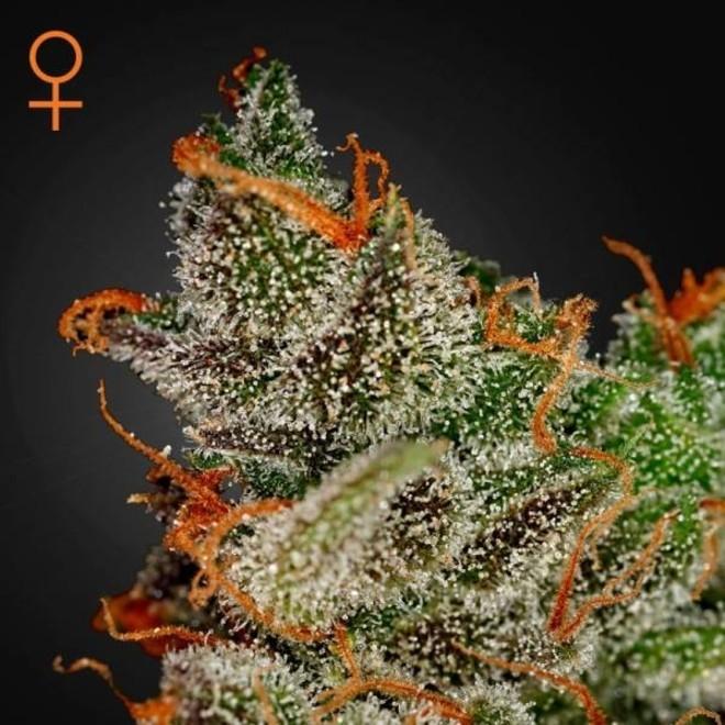 King's Kush (Greenhouse Seeds) feminized