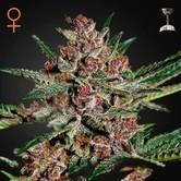 Bubba Kush (Greenhouse Seeds) feminized