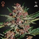 Bubba Kush (Greenhouse Seeds) feminisiert