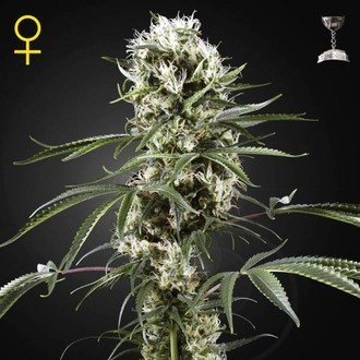 Super Lemon Haze (Greenhouse Seeds) feminisiert