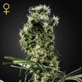 Arjan's Haze 2 (Greenhouse Seeds) feminized