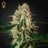 Arjan's Haze 3 (Greenhouse Seeds) feminized