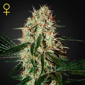 Arjan's Haze 3 (Greenhouse Seeds) Femminizzata