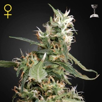 Arjan's Ultra Haze 1 (Greenhouse Seeds) femminizzata