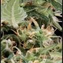 Arjan's Ultra Haze 1 (Greenhouse Seeds) feminisiert