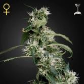 Arjan's Ultra Haze 2 (Greenhouse Seeds) Femminizzata