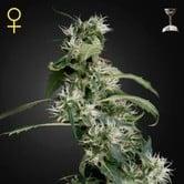 Arjan's Ultra Haze 2 (Greenhouse Seeds) feminized