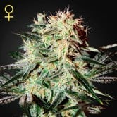 Arjan's Strawberry Haze (Greenhouse Seeds) feminized