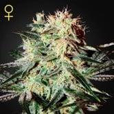 Arjan's Strawberry Haze (Greenhouse Seeds) feminized
