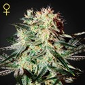 Arjan's Strawberry Haze (Greenhouse Seeds) femminizzata