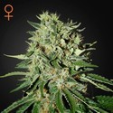 The Doctor (Greenhouse Seeds) Femminizzata