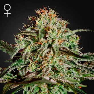 A.M.S. (Greenhouse Seeds) feminized