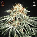 White Widow (Greenhouse Seeds) feminisiert