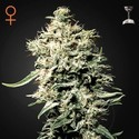 White Rhino (Greenhouse Seeds) femminizzata