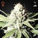 Great White Shark (Greenhouse Seeds) femminizzata
