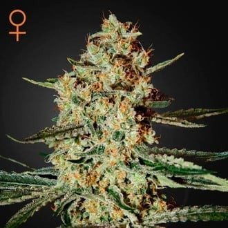 Himalaya Gold (Greenhouse Seeds) feminized