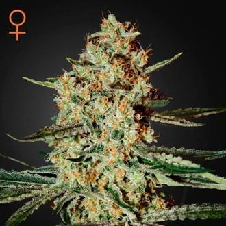 Himalaya Gold (Greenhouse Seeds) Femminizzata