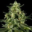 Himalaya Gold (Greenhouse Seeds) feminisiert
