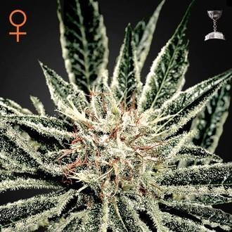 El Niño (Greenhouse Seeds) feminized