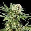 El Niño (Greenhouse Seeds) feminized