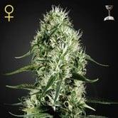 Super Silver Haze (Greenhouse Seeds) feminisiert