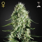 Super Silver Haze (Greenhouse Seeds) feminized