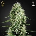 Super Silver Haze (Greenhouse Seeds) feminisiert