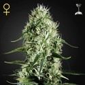 Super Silver Haze (Greenhouse Seeds) femminizzata