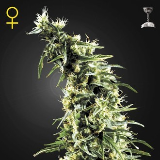 Hawaiian Snow (Greenhouse Seeds) feminisiert