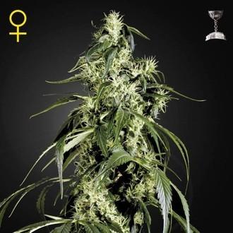 Arjan's Haze 1 (Greenhouse Seeds) femminizzata