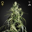 Arjan's Haze 1 (Greenhouse Seeds) femminizzata