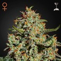 Big Bang (Greenhouse Seeds) feminized