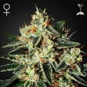 Cheese (Greenhouse Seeds) feminisiert