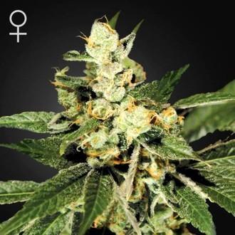 Train Wreck (Greenhouse Seeds) femminizzata