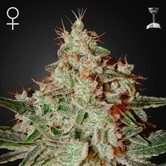 Lemon Skunk (Greenhouse Seeds) feminized