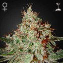 Lemon Skunk (Greenhouse Seeds) feminisiert