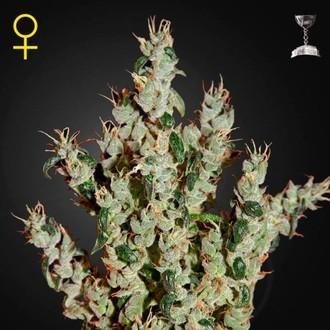 NL5 Haze Mist (Greenhouse Seeds) feminisiert